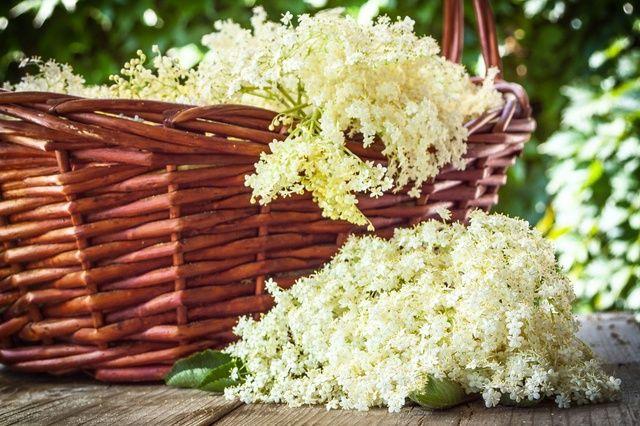 Kwiat bzu czarnego – Flos Sambuci – jak wykorzystać w leczeniu?